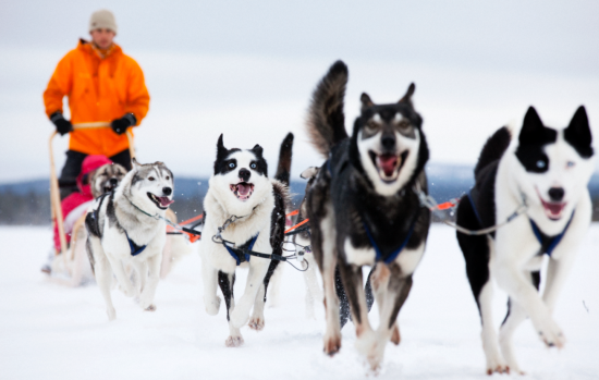 Drive a team of Huskies.