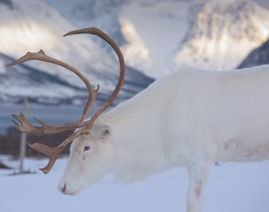 A reindeer blends into the Nordic landscape.