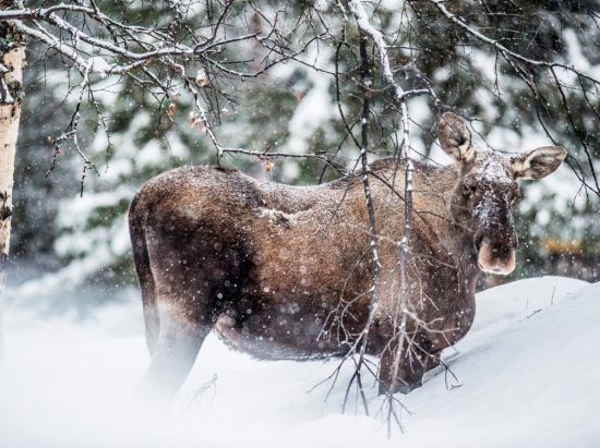 A Swedish moose posing for a picture in the wild.