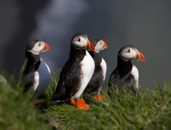 Puffin birds taking a migratory break.