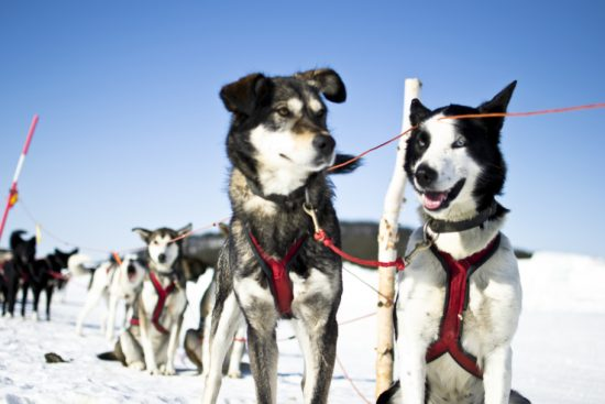 Sled dogs love to run and lots of cuddles (photo credit Martin Smedsen)