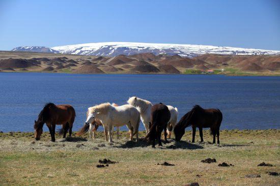 The beautiful Icelandic horse